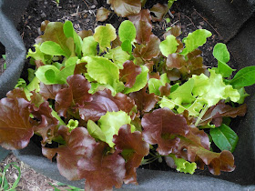 Mixed lettuce container garden grow with kids
