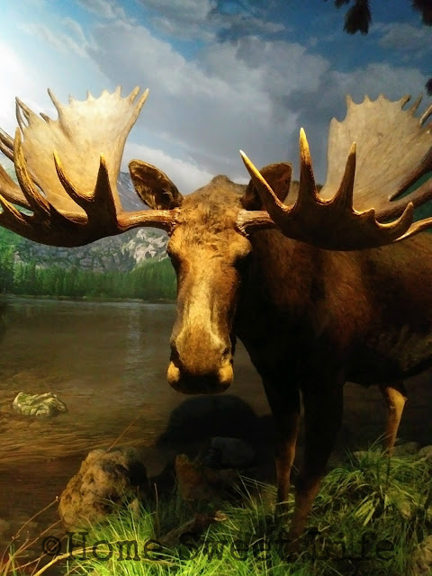 Wonders of Wildlife, Johnny Morris, Wildlife Galleries, Springfield MO, road trip, family trip, Bass Pro Shops, bull moose