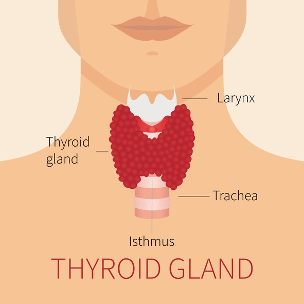 Tuit Nutrition: Let\'s Talk About Thyroid -- Intro: Thyroid Function ...