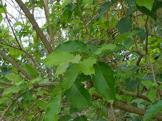 Bunchosie des Andes - Bunchosie abricot - Bunchosia armeniaca