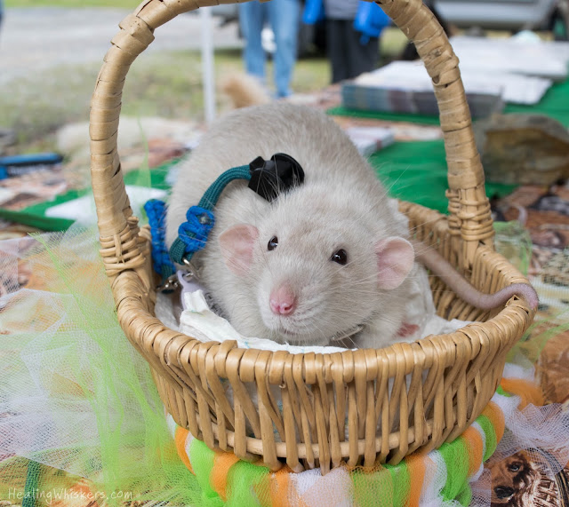 Oliver the Therapy Rat at the St. PETrick's Day parade in his festive basket