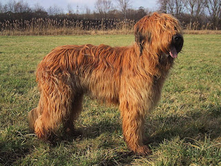 Briard-dogs-pets-dog breeds