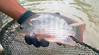 Cara Pembesaran Ikan Nila di Kolam Terpal