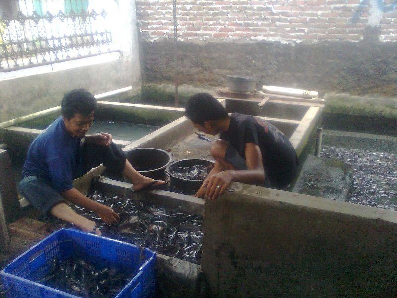 Bisnis Ikan Lele di Kolam Tembok