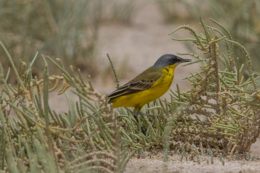 thunbergi Yellow Wagtail