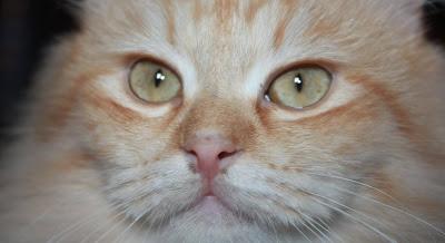 por que ronronean los gatos