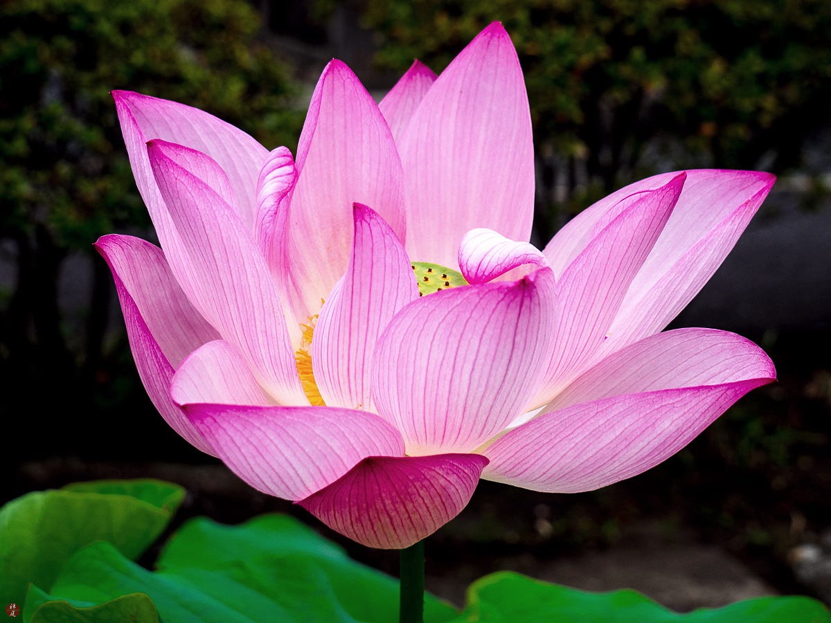 From The Garden Of Zen Sacred Lotus Flower Kencho Ji