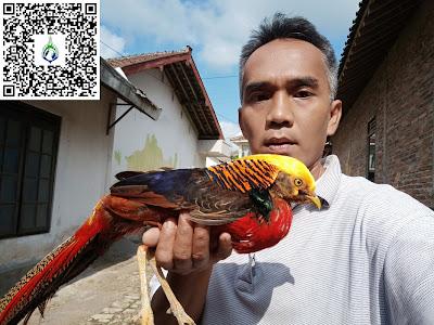 Jual ayam pheasant golden