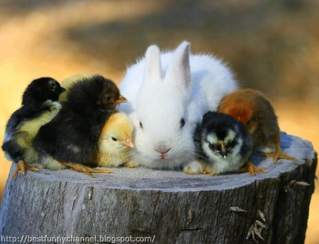 Bunny and chickens.