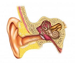 Oido humano en biologia