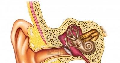 El Oído Humano Biología