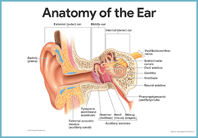 anatomy-of-the-ear