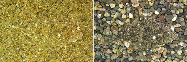 Solha-das-pedras - Platichthys flesus
