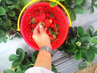 strawberry sembalun