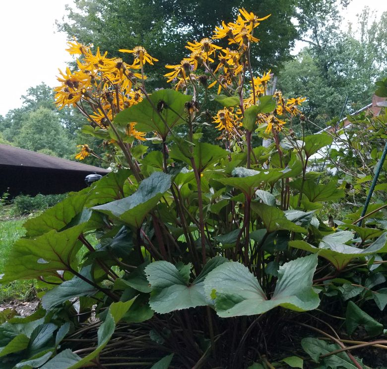 Future Plants By Randy Stewart: Ligularia