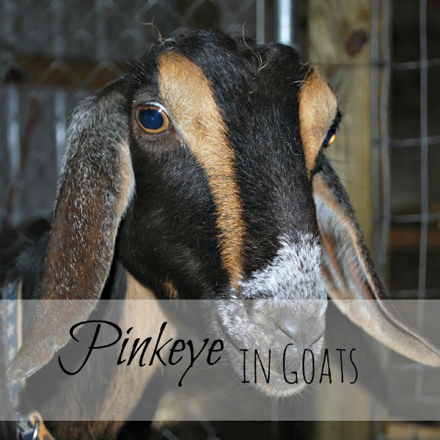 Pinkeye in goats - what it is and how to treat it - from Oak Hill Homestead