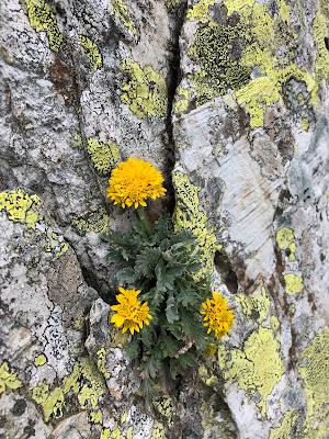 [Asteraceae] Jacobaea carniolica – Grey Alpine Groundsel (Senecione biancheggiante della Carniola)