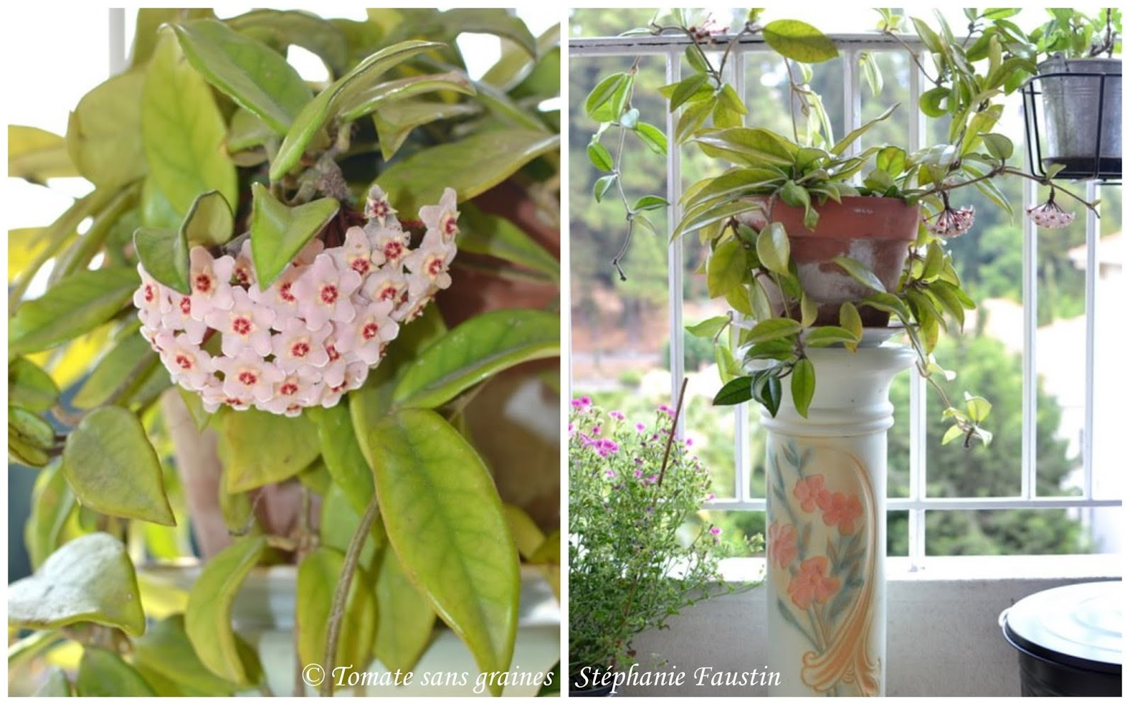Hoya en fleurs
