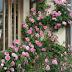 Jual Tanaman Pink Climbing Rose   Bibit Online