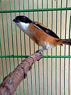 Burung Cendet - Cara Mencabut Bulu Ekor Burung Cendet yang Rusak dan Hal yang Harus Diperhatikan Saat Mencabut Bulu Ekor Burung Cendet - Penangkaran Burung Cendet