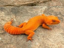jual gecko raptor murah, jual gecko rainwater, harga gecko rainwater, harga reptil gecko, jual reptil gecko, harga gecko raptor, jual gecko super raptor, jual gecko super snow, jual gecko snow, jual gecko shtctb, jual gecko sunglow murah, jual gecko sunglow male, jual gecko sunglow jogja, jual gecko tangerine, jual gecko tremper, jual gecko tokobagus, jual gecko tangerang, jual tokek gecko, harga gecko terkini, harga gecko termurah, harga gecko terbaru, harga gecko tramper, jual leopard gecko tangerine, jual gecko unik,