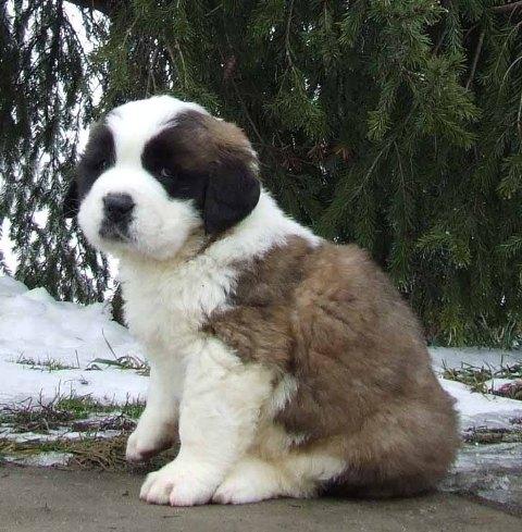 Saint Bernard Dog Puppies