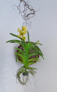 Blumenladen Orchidee Wanda