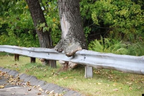 أشجار تبتلع كل ما يعترض نموها 10-600x401.jpg