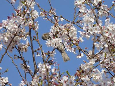 桜の花をついばむヒヨドリ