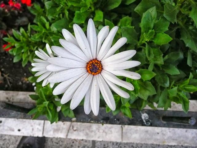 Flor de Margarita con centro amarillo