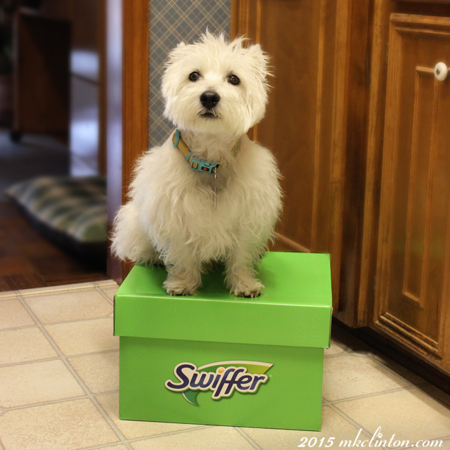 Westie sitting on Swiffer box