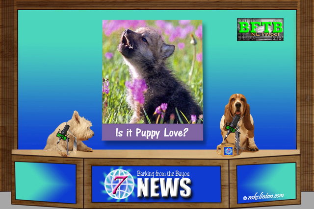 BFTB NETWoof News report on baby wolf mistaken for puppy