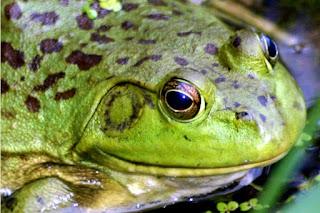 Image: Frog | Photo by Kenn W. Kiser, on MorgueFile