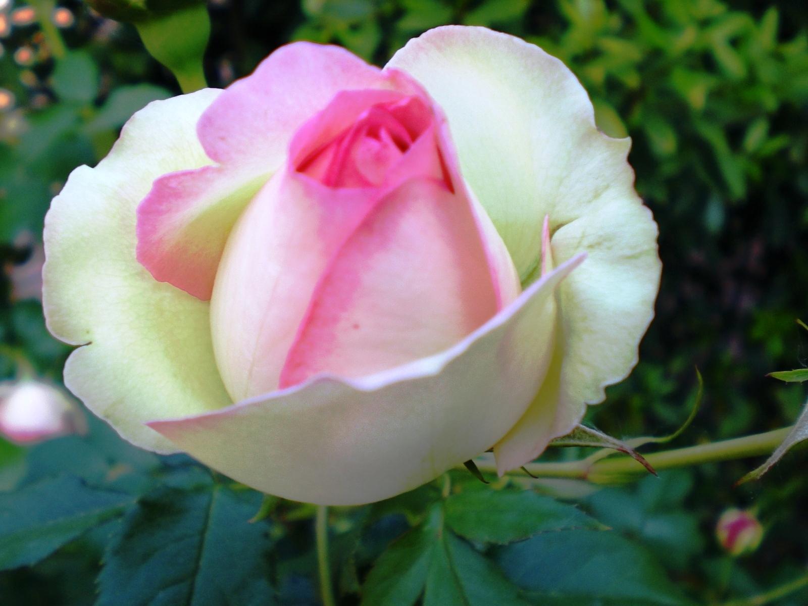 Le soluzioni alternative da le rose pi belle per il mio for Luce di pera
