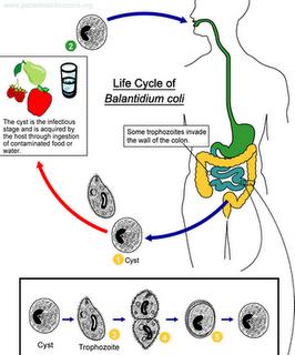 Siklus hidup Balantidium coli