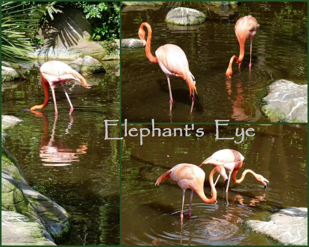 Caribbean Flamingo (Colombia, Mexico, Cuba)