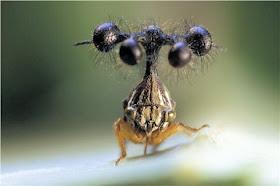 Image result for este insecto originario de Brasil, una especie de saltamontes arbóreo