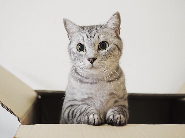 かわいらしいポーズで箱から身を出しているサバトラ猫