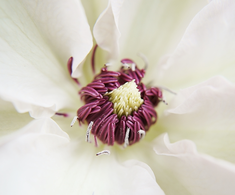 Blog + Fotografie by it's me! - Waldrebe Clematis - inneres einer Blüte