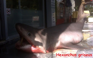 hiu spesies Hexanchus Griseus