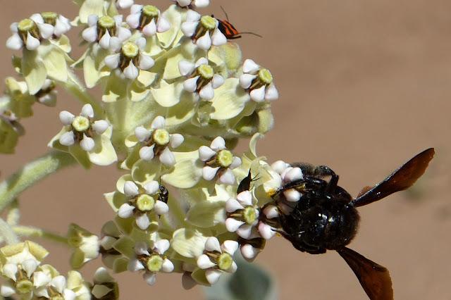 milkweed with residents
