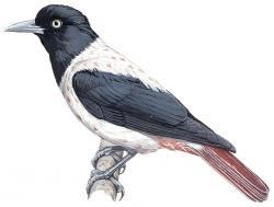 Oriolus mellianus