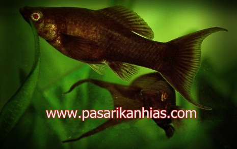 Ikan hias air tawar molly