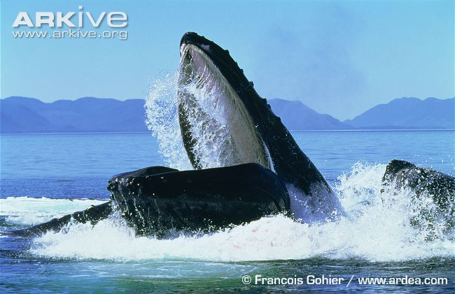 Our Learning Community: What Do Humpback Whales Really Eat?