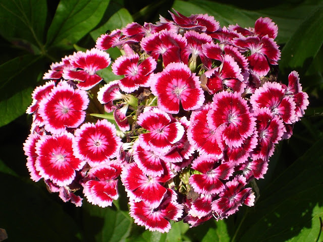 sweet-william-carnations.jpg