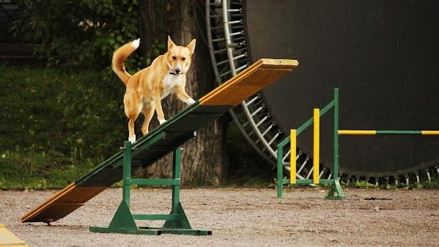 melatih anjing di taman