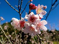 Flor de Cerejeira Templo Kinkaku-ji em Itapecerica da Serra