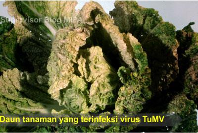 penyakit yang disebabkan virus pada tumbuhan-penyakit daun menggulung ini disebabkan oleh virus, yaitu Turnip Mozaic Virus (TuMV)