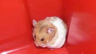 Cara Menjinakan Hamster