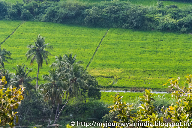 Trichy Farming Paddy fields